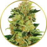 Pineapple Haze Feminized Seeds for sale USA