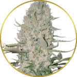 Power Plant Feminized Seeds for sale USA
