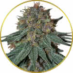Purple Haze Feminized Seeds for sale USA