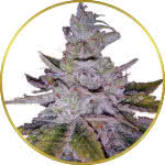 Purple Kush Feminized Seeds for sale USA