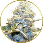 Skywalker OG Feminized Seeds for sale USA