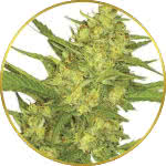 Sour Diesel Feminized Seeds for sale USA
