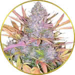 Strawberry Cough Feminized Seeds for sale USA
