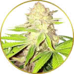 Strawberry Kush Feminized Seeds for sale USA