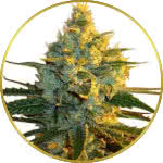 Super Lemon Haze Feminized Seeds for sale USA