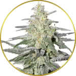 Super Silver Haze Feminized Seeds for sale USA