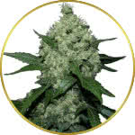 Super Skunk Feminized and Regular Seeds for sale USA