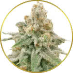 Wedding Cake Feminized Seeds for sale USA