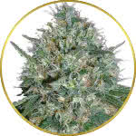 White Rhino Feminized Seeds for sale USA