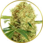 White Widow Feminized Seeds for sale USA