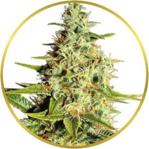 Afghan marijuana strains