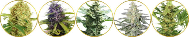 top-rated best marijuana strains of all time list