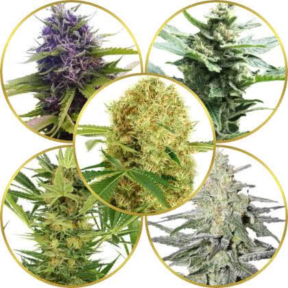 Top 5 Best Marijuana Strains Of All Time