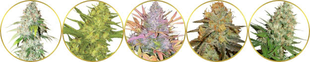 top-rated list of the best american marijuana strains to grow