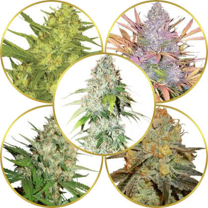 Top 5 Best American Marijuana Strains to Grow
