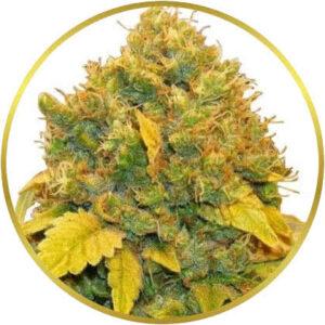 Banana Kush marijuana strain