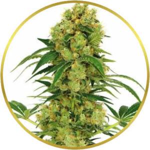 Big Bud marijuana strain