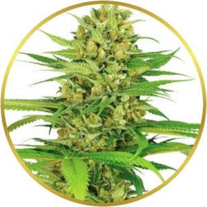 Bubble Gum marijuana strain