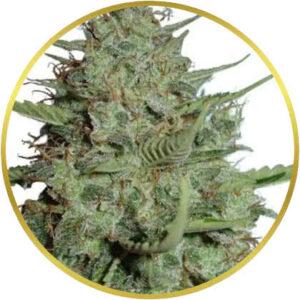 California Dream marijuana strain