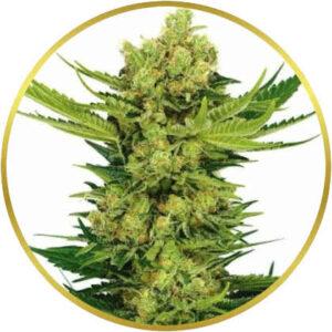 Cheese marijuana strain