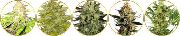 top-rated list of the best marijuana strains to grow for closets, grow tents, and grow boxes