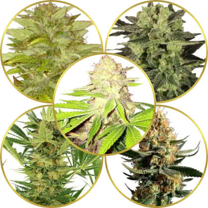 Top 5 Best Weed Strains for Closet/Grow Tent/Box Growing