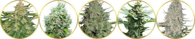 top-rated list of the best cannabis strains for commercial farms