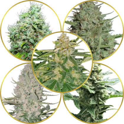 Top 5 Best Strains to Grow for Commercial Farmers