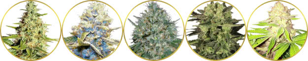 top-rated list of the best dense bud weed strains