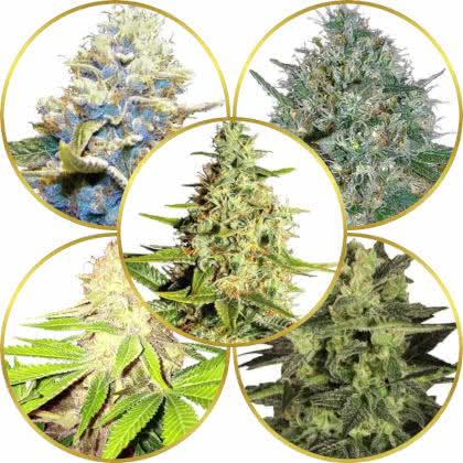 Top 5 Best Dense Bud Weed Strains to Grow