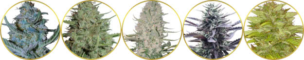 top-rated list of the best easy-growing weed strains for beginners