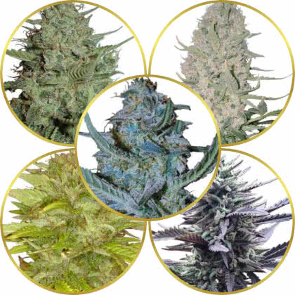 Top 5 Best Easy-Grow Weed Strains for Beginners