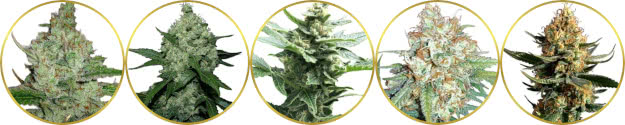 top-rated list of the best fast-flowering weed strains