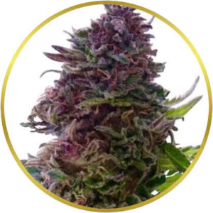Grand Daddy Purple marijuana strain