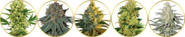 top-rated list of the best haze strains of cannabis