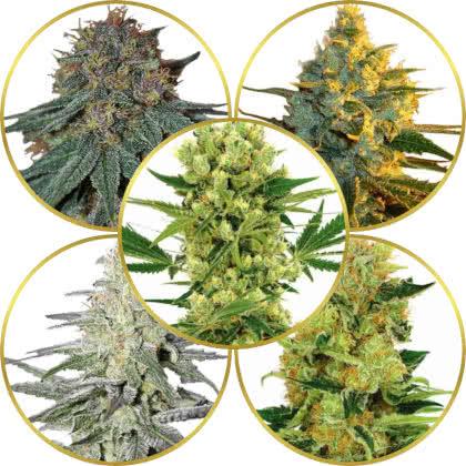 Top 5 Best Haze Cannabis Strains to Grow