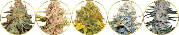 top-rated list of the best high-thc marijuana strains