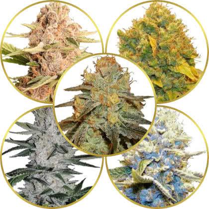 Top 5 Best High-THC Cannabis Strains to Grow