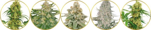 top-rated list of the best high-yield marijuana strains