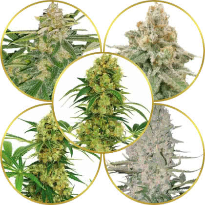 Top 5 Best High-Yield Marijuana Strains to Grow