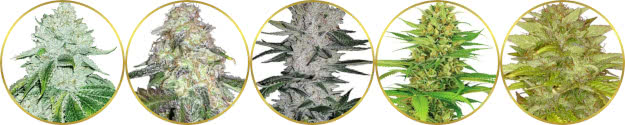 top-rated list of the best hybrid sativa-indica strains