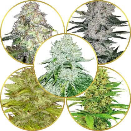 Top 5 Best Sativa-Indica Hybrid Strains to Grow