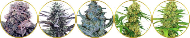 top-rated list of the best marijuana strains to grow hydroponically