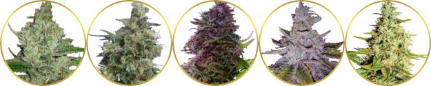 top-rated list of the best indica strains
