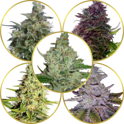 Top 5 Best Indica Strains to Grow (Indica Dominant)