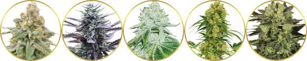 top-rated list of the best indoor marijuana strains