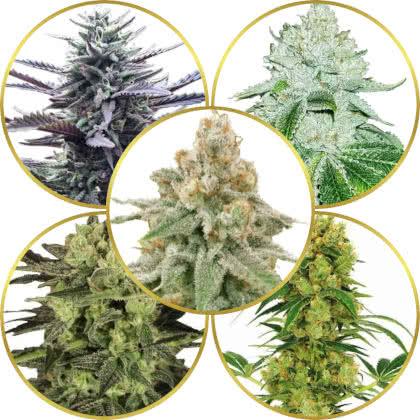 Top 5 Best Marijuana Strains to Grow Indoors