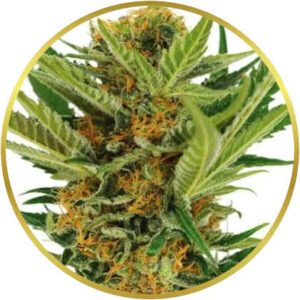 Jack Herer marijuana strain