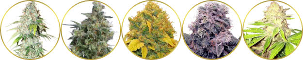 top-rated list of the best kush strains of cannabis