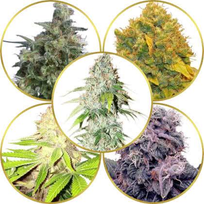 Top 5 Best Kush Cannabis Strains to Grow